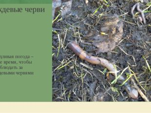 Дождевые черви Дождливая погода – самое время, чтобы понаблюдать за дождевыми