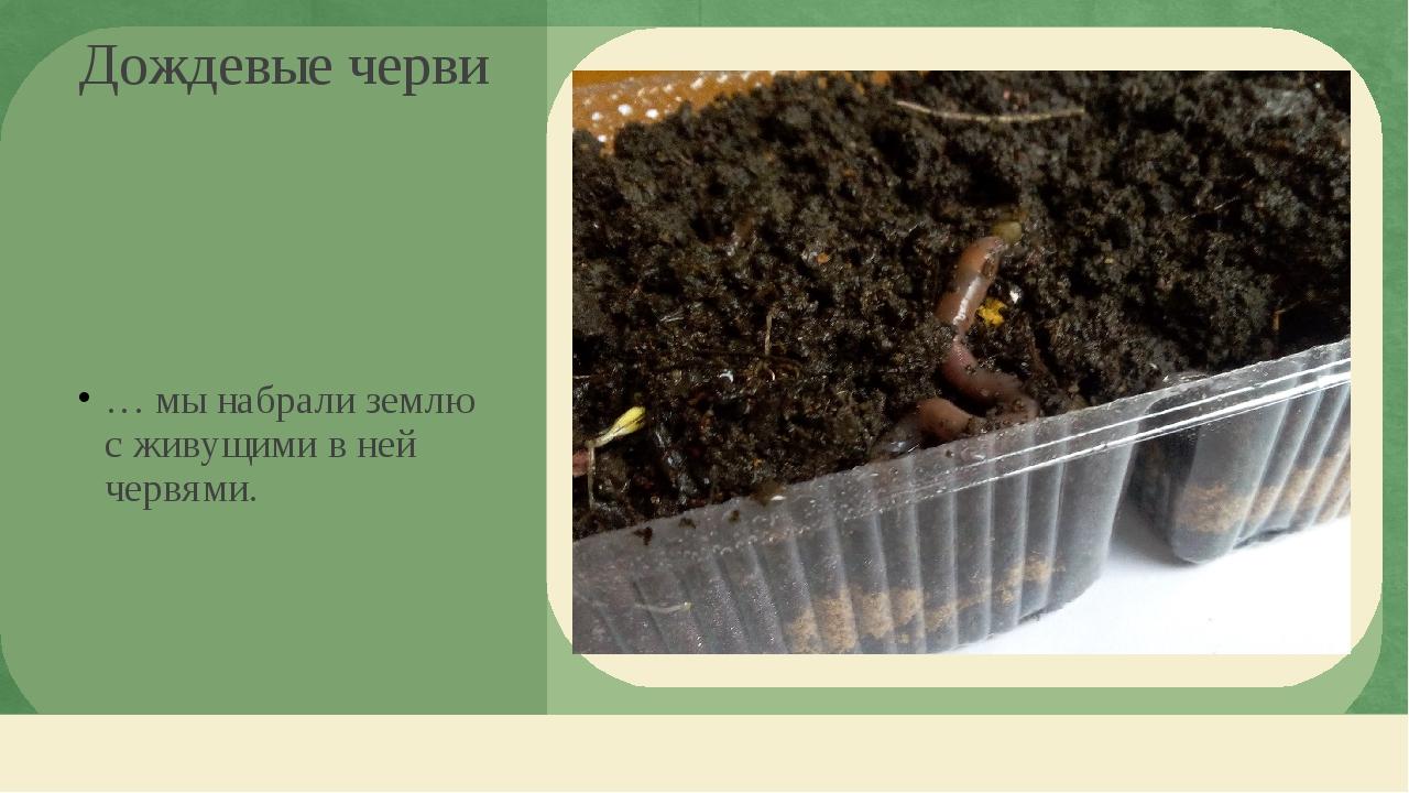 … мы набрали землю с живущими в ней червями. Дождевые черви