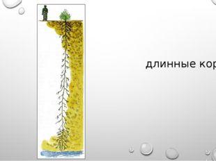 длинные корни