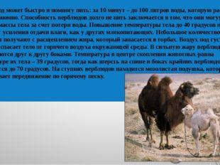 Верблюд может быстро и помногу пить: за 10 минут – до 100 литров воды, котору