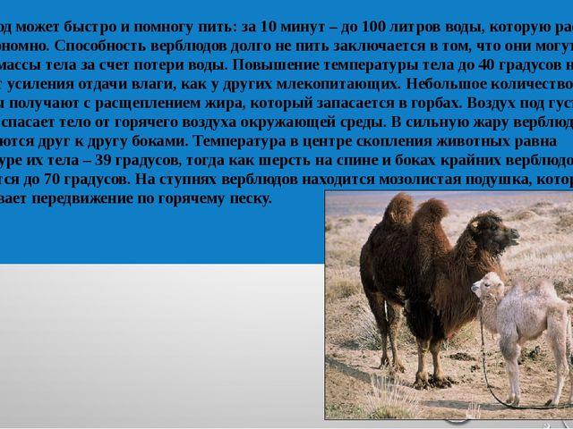 Верблюд может быстро и помногу пить: за 10 минут – до 100 литров воды, котору...