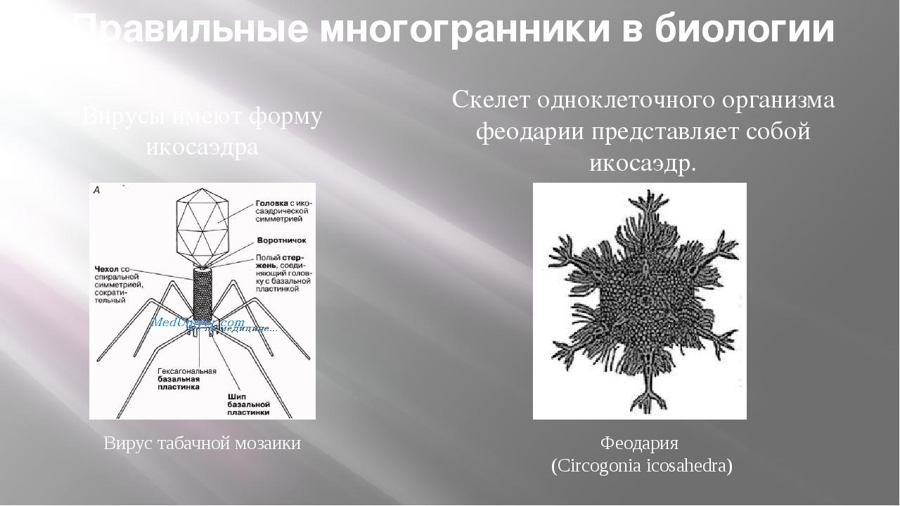 Вирус табачной мозаики Феодария (Circogonia icosahedra) Правильные многогранн...