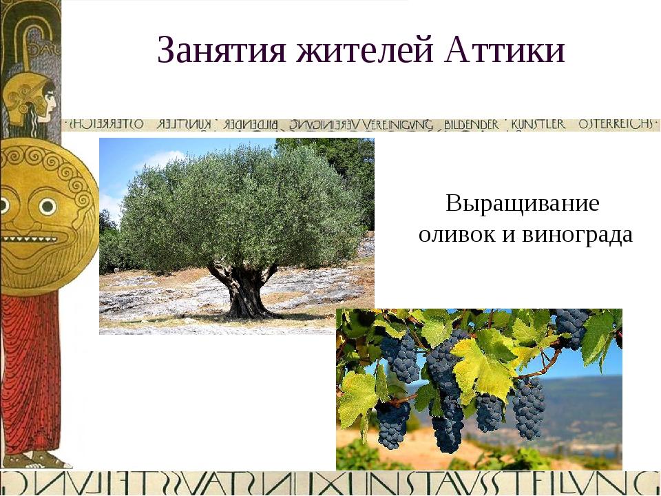 Занятия жителей Аттики Выращивание оливок и винограда