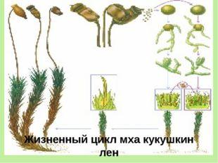 Жизненный цикл мха кукушкин лен