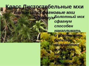 Класс Листостебельные мхи Белые или сфагновые мхи Сфагнум Болотный мох сфагну