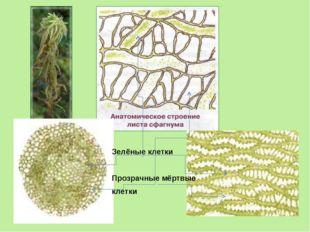 Зелёные клетки Прозрачные мёртвые клетки