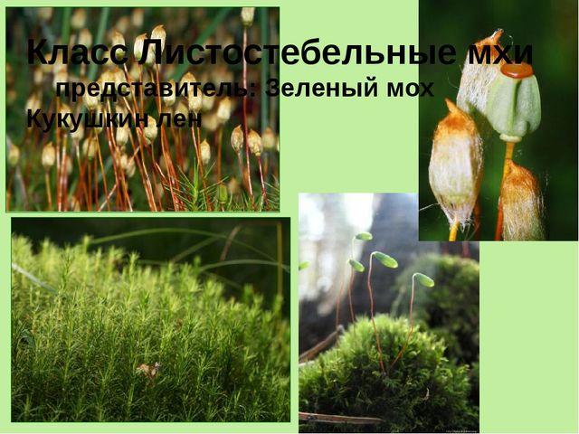 Кукушкин лён Класс Листостебельные мхи представитель: Зеленый мох Кукушкин лен