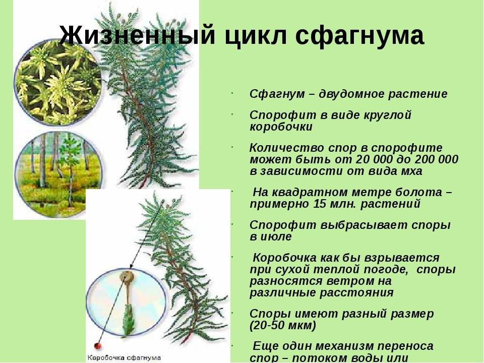 Сфагнум – двудомное растение Спорофит в виде круглой коробочки Количество спо...