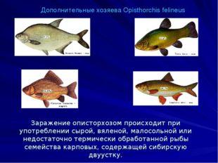 Дополнительные хозяева Opisthorchis felineus Заражение описторхозом происходи