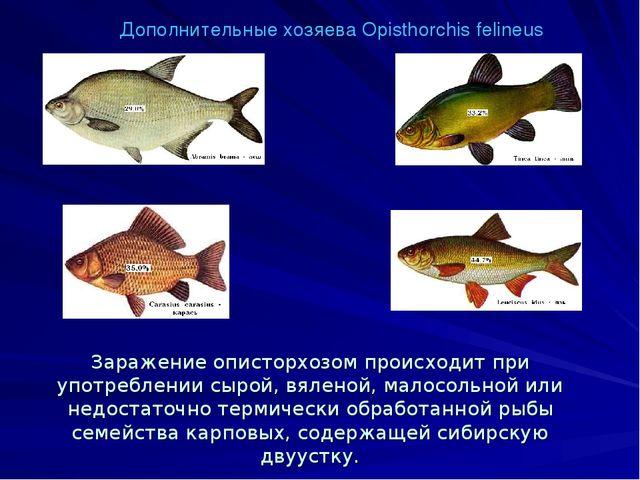 Дополнительные хозяева Opisthorchis felineus Заражение описторхозом происходи...