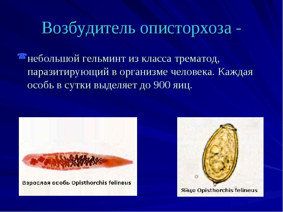 Возбудитель описторхоза - небольшой гельминт из класса трематод, паразитирующ...