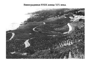 Виноградники ЮБК конца XIX века.