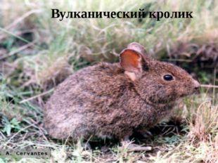 Вулканический кролик