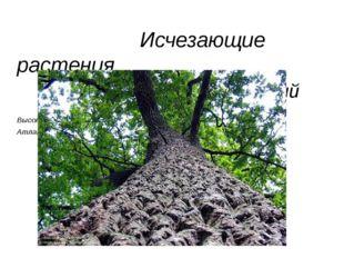 Исчезающие растения Дуб скальный Высота до 30 м. Вид – реликтовый. Распростр