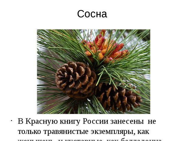 Сосна В Красную книгу России занесены не только травянистые экземпляры, как ж...