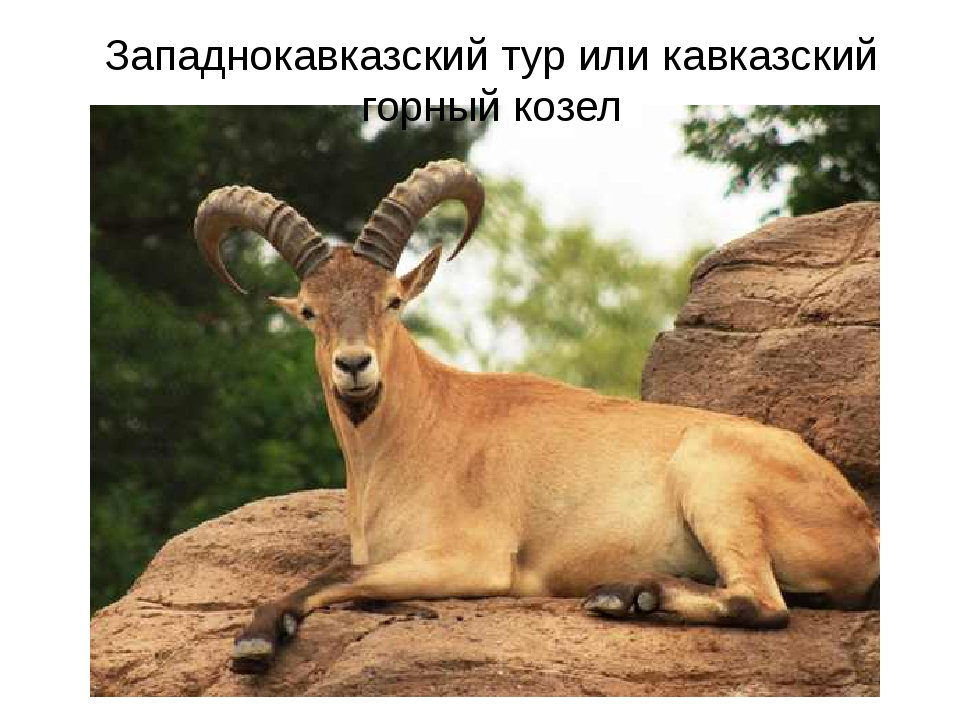Западнокавказский тур или кавказский горный козел