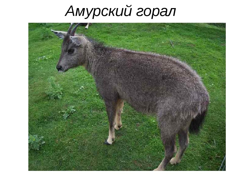 Амурский горал