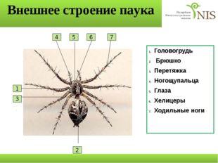 Внешнее строение паука Головогрудь Брюшко Перетяжка Ногощупальца Глаза Хелице