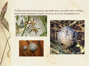 Чтобы получился большой и прочный дом, осы работают сообща, всей своей огром