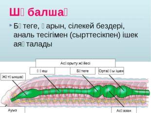 Шұбалшаң Бөтеге, қарын, сілекей бездері, аналь тесігімен (сырттесікпен) ішек