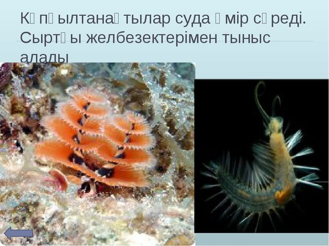 Көпқылтанақтылар суда өмір сүреді. Сыртқы желбезектерімен тыныс алады