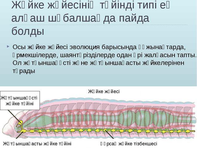 Жүйке жүйесінің түйінді типі ең алғаш шұбалшаңда пайда болды Осы жүйке жүйесі...