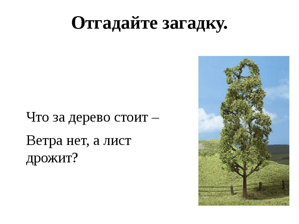 Отгадайте загадку. Что за дерево стоит – Ветра нет, а лист дрожит?