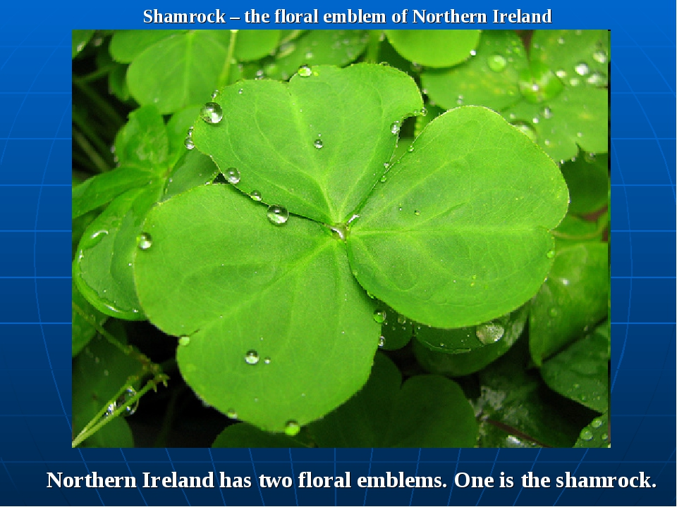 Shamrock – the floral emblem of Northern Ireland Northern Ireland has two flo...