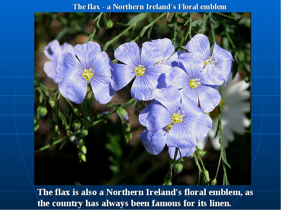 The flax - a Northern Ireland's Floral emblem The flax is also a Northern Ire...