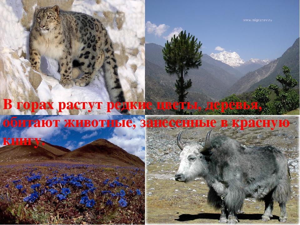 В горах растут редкие цветы, деревья, обитают животные, занесенные в красную...