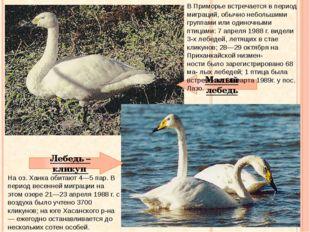 Малый лебедь Лебедь – кликун На оз. Ханка обитают 4—5 пар. В период весенней