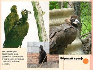 Чёрный гриф На территории Хасанского р-на держалось скопление птиц численност