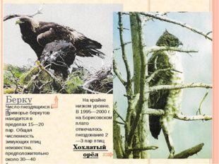 Беркут Хохлатый орёл Число гнездящихся в Приморье беркутов находится в предел