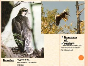 Белоплечий орлан Балобан Редкий вид. Численность очень низкая. Редкий вид. С