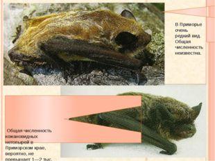 Кожан восточный Кожановидный нетопырь Общая численность кожановидных нетопыре
