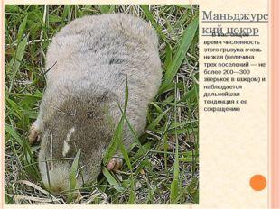Маньджурский цокор В настоящее время численность этого грызуна очень низкая (