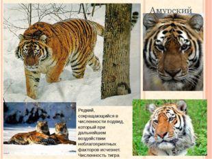Амурский тигр Редкий, сокращающийся в численности подвид, который при дальней