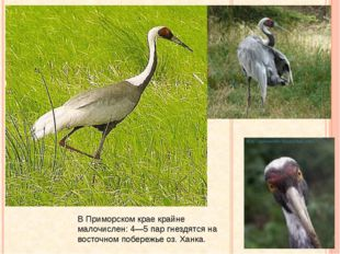Даурский журавль В Приморском крае крайне малочислен: 4—5 пар гнездятся на в