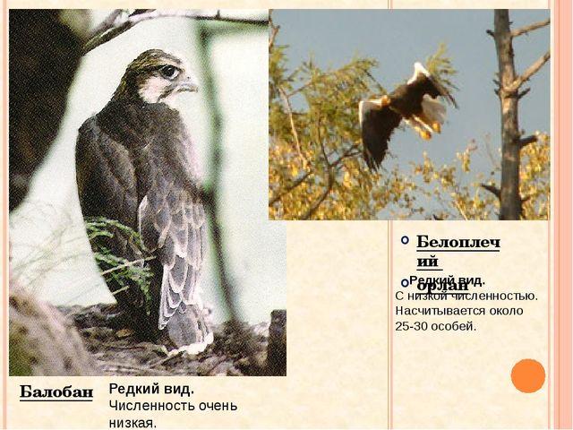 Белоплечий орлан Балобан Редкий вид. Численность очень низкая. Редкий вид. С...