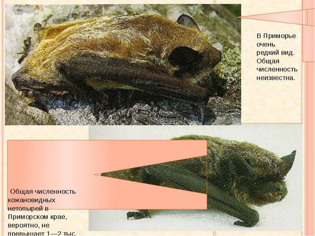 Кожан восточный Кожановидный нетопырь Общая численность кожановидных нетопыре...
