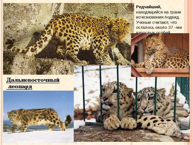 Дальневосточный леопард Редчайший, находящийся на грани исчезновения подвид....