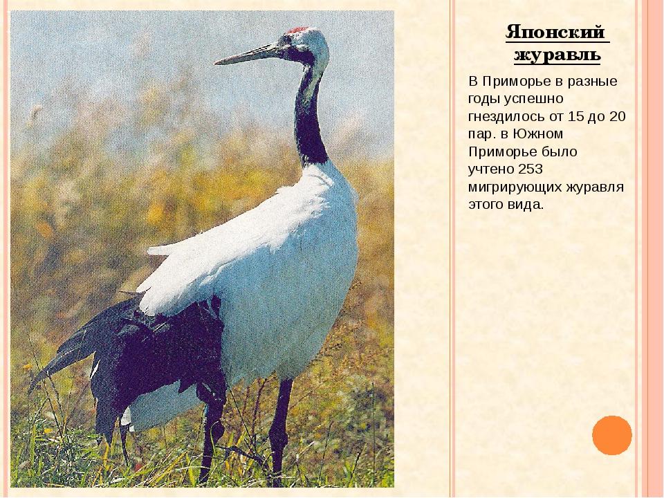 Японский журавль В Приморье в разные годы успешно гнездилось от 15 до 20 пар....
