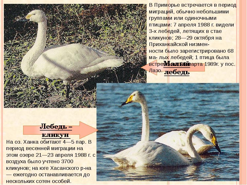 Малый лебедь Лебедь – кликун На оз. Ханка обитают 4—5 пар. В период весенней...