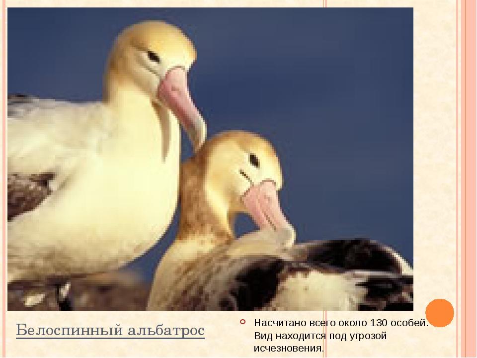 Белоспинный альбатрос Насчитано всего около 130 особей. Вид находится под угр...