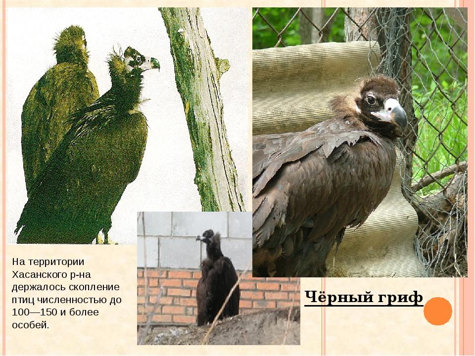 Чёрный гриф На территории Хасанского р-на держалось скопление птиц численност...