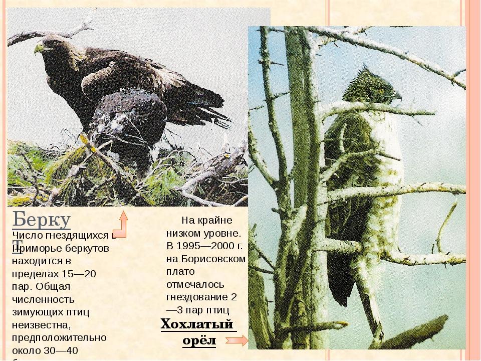 Беркут Хохлатый орёл Число гнездящихся в Приморье беркутов находится в предел...
