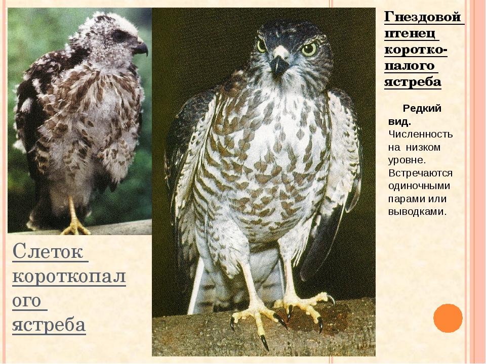 Слеток короткопалого ястреба Гнездовой птенец коротко- палого ястреба Редкий...
