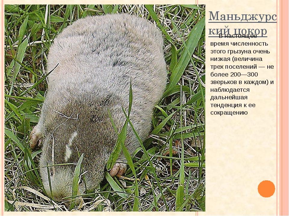 Маньджурский цокор В настоящее время численность этого грызуна очень низкая (...