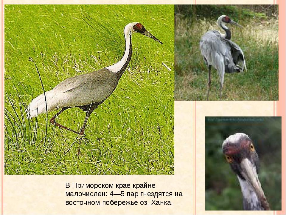 Даурский журавль В Приморском крае крайне малочислен: 4—5 пар гнездятся на в...