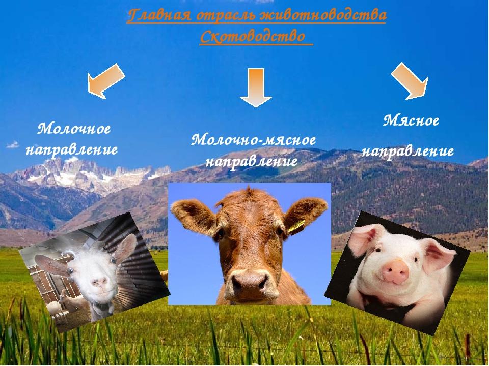 Главная отрасль животноводства Скотоводство Молочное направление Молочно-мясн...